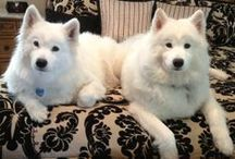 Samoyed Love / by Cindy Legowik