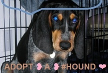 "ADOPT ❥ A ❥  HOUND ❤ / NOT an ""All Breeds"" Board ~ but a crossposting board for any & all hounds & hound blends needing homes  ❥ Some hound breeds: Beagles, Bassets, Bloodhounds, Blue Ticks, Coonhounds, Dachshunds, Catahoulas, Greyhounds,  Red Bones, Rhodesian Ridgies, & more ♥  this board is for specific dogs in real need ~ no petitions or public service announcement posters please ~ there are other boards for advocacy work ~   invite & add your houndsome friends ! ! ~~ oh ya' ...  & no breeder's or their posts/pins  / by uber wagmore"