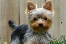 Yorkies- puppy love / by Michelle Wright