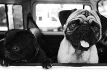 Pugs.... / by Carmen Cano