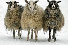 sheep / by chad isham