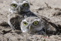 """""""who cooks for you...who cooks for you awwwwwl"""" / Owls of course. You may need to listen to """"Birding by Ear"""" to understand my Title. Ha! / by Nancy Geertsema-Buis"""