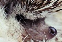 Hedgehogs / by Samantha Gendron