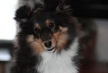 Shelties / Shetland Sheepdogs / by WeezersMama
