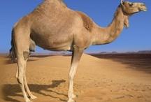 Camels / by Lori Salim