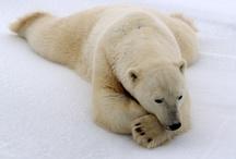 polar bears / by sakahara yasuhiro