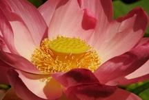 Lotus / by Marleen Boersma