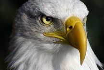 Eagle  / American Bald Eagle / by Paul DiNardo