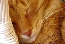 Cat fancies / Cats, about cats & things for cats / by Carol White