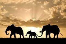 Elephant / by Narisara J Griffaw