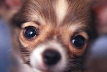 Chihuahuas! / by Lee Ann Meeker