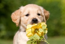 Golden Retriever / by Dog Paradise
