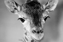 GIRAFFEYS! / by Kara Harbaugh