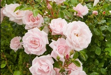 Beautiful Blooms / From English roots springs love of Roses and pretty gardens / by Susan Edghill