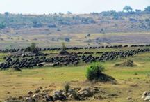 Serengeti / Photos and videos taken in the world famous Serengeti National Park in Tanzania. All photos and videos uploaded from our account are from Thomson Safaris' guests. / by Thomson Safaris