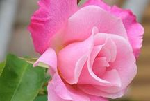 Roses Roses Roses Roses / All roses and gardening in any way / by Marilyn Martin