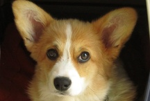 Board Corki has moved ... / this board is now at http://www.pinterest.com/harrykent/corki-the-corgi/ / by Harry Kent