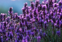 Lavender / by Monica