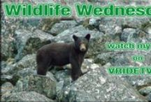 Wildlife in Canada / While riding and filming across Canada we have captured many images of Wildlife. http://www.vridetv.com / by Vridetv Canada