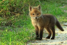 Only foxes / by Kathy Dietkus