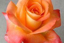 Roses / by Karen Case