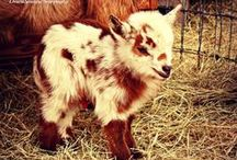 Curmudgeon: My Future Goat / I would like to have a Nigerian Dwarf goat for milk. / by Kelsey Forkner