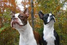 Boston Terrier Obsession / by Denise Grindle