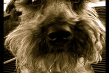 Giacomo the Schnoodle / This board is all about my Schnoodle (half miniature Schnauzer/half miniature Poodle).  His name is Giacomo. He was born December 16, 2007. Best Dog Ever! / by Lisa Nielsen