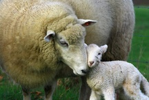Sheep / by Peggy Morris