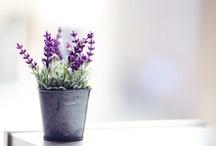 lavender  / by Keico Shinoda