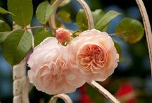 Roses / Lush, fragrant, and so romantic / by Vic (Jane Austen's World)