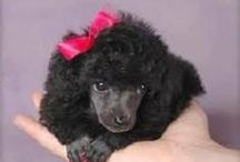 Poodle Love! / I just love Poodles, always have and always will! / by Sandy English