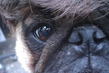 Fur Pigs / Ohhh PUG DOGS! / by Whitney Ronnberg