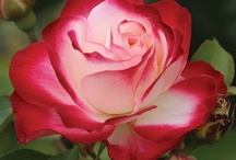 Roses / The Queen of flowers. / by Jane Abernathy Hahn