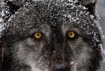 Wolves / I am half Native American...the Wolf is my guardian totem.  / by Michelle Thompson