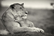 Big Cats ♥ / Since I love them so much, I decided to make a board just for them.  ♥ / by Tiffany Erika
