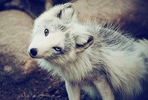 Wolves and Foxes / Wolves, foxes, coyotes, and maybe the occasional domestic canine.  / by Rebecca