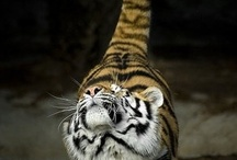 Meow - Big Cats / by Rebecca
