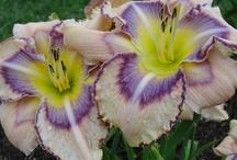 Hemerocallis - Taglilien - Daylilies / by Barbara Ehlert