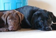 I love Labs / by Robin Hayes
