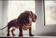 Dachshund Kisses / They are the cutest dogs with the most personality / by Amanda N.
