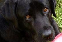 A Labrador's Love / by Sue Frazier
