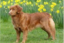 Chien / Dog - Nova Scotia Retriever - Toller / Retriever de la Nouvelle Écosse ou Nova Scotia Dog Tolling Retriever - Groupe FCI 8 - / by Odile Berget