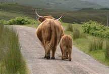 Highland Cows / by Jess