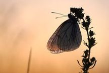 Caterpillars, moths, butterflies / The transition from caterpillar to moth or butterfly is a glorious one! / by Beth Pearce