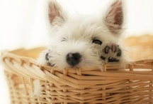 Westies and friends / The love for these little white dogs and other photos of cute animals.  / by Kelly Watkins