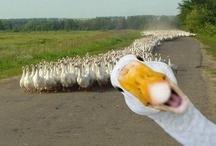 Birds-Ducks, Geese, & Swans / by Jeannie Ruggiero