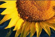 Sunflower Photos / by Becca Ross