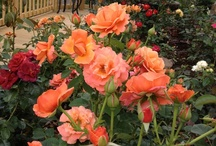 Roses Gaga's Garden® / Pictures of roses selected by, planted, grown and photographed by Susan Fox except for roses added to the collection by other rosarians / by Susan Fox