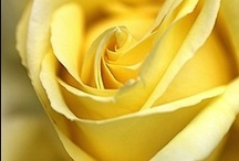 Roses and more Roses / by Sandra Lenins
